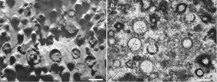 Nagromadzenie marsjańskich biomorficznych obiektów  z obrzeża krateru Endeavour  (z lewej; skala ok. 2 mm) porównane z podobnym nagromadzeniem ziemskich  mikroglonów z morskich osadów dewonu południowej Polski (z prawej; skala 0,2 mm)
