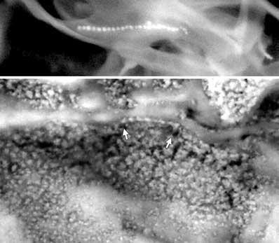 Mikroby w ALH84001