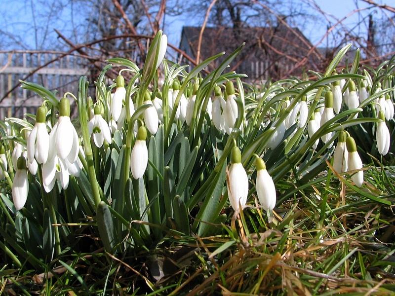 Wiosenne przebiśniegi