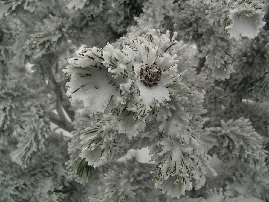 Zimowa szyszka
